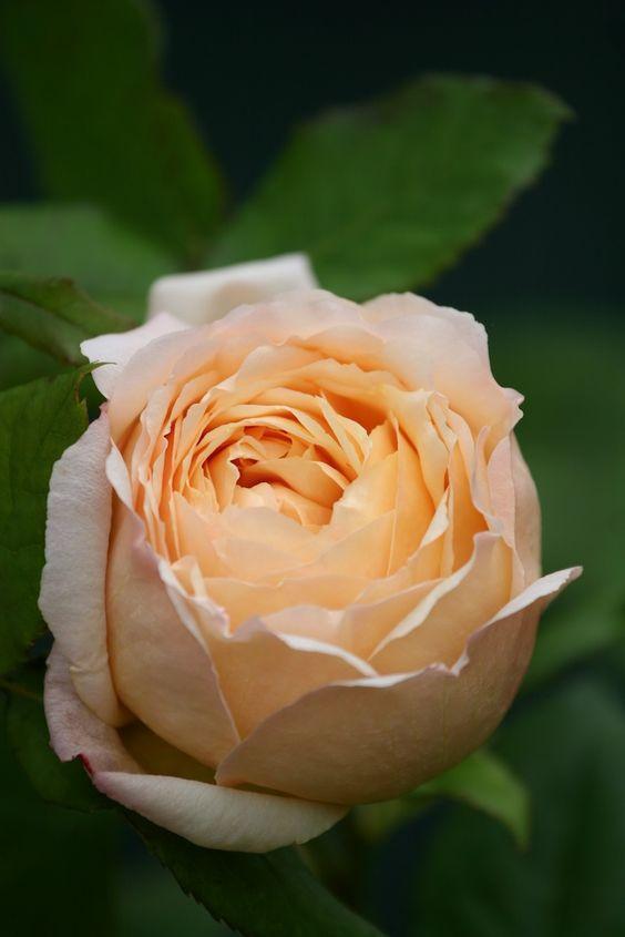 صور عن الورد جميله