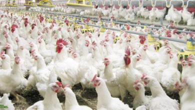 Photo of تفاصيل سبب مقاطعة الدجاج البرازيلي في السعودية