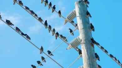 Photo of لماذا لا تتعرض الطيور للصعق كهربائيا عند وقوفها على أسلاك الضغط العالي؟.. شركة الكهرباء تجيب
