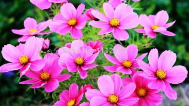 Photo of معلومات عن أزهار الكوزموس , طريقة زراعة أزهار الكوزموس