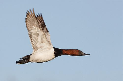 Canvasback Duck البطة البرية الأمريكية