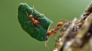 شغالات النمل