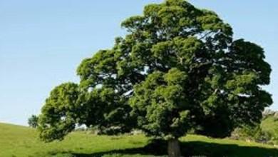 Photo of ما هي شجرة البلوط