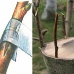 كيفية تطعيم الأشجار