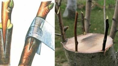 Photo of كيفية تطعيم الأشجار
