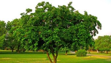 Photo of شجرة البلوط