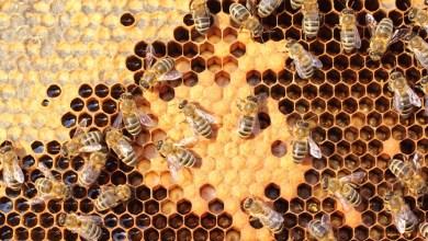 Photo of هل يساعد غذاء ملكات النحل في تسريع التئام الجروح