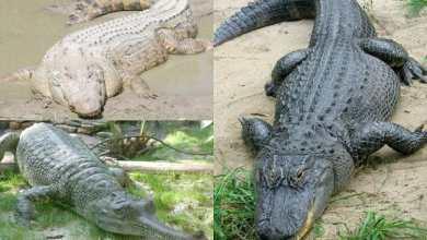 Photo of تمساح النيل المصري وباقي أنواع التماسيح في العالم