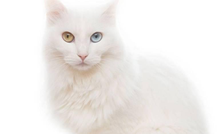 صورة قط الأنغورا التركي