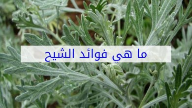 Photo of فوائد الشيح