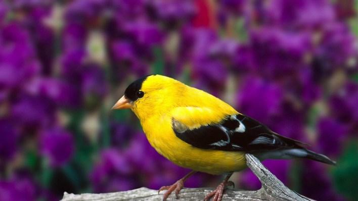 تفسير حلم الطيور الملونة