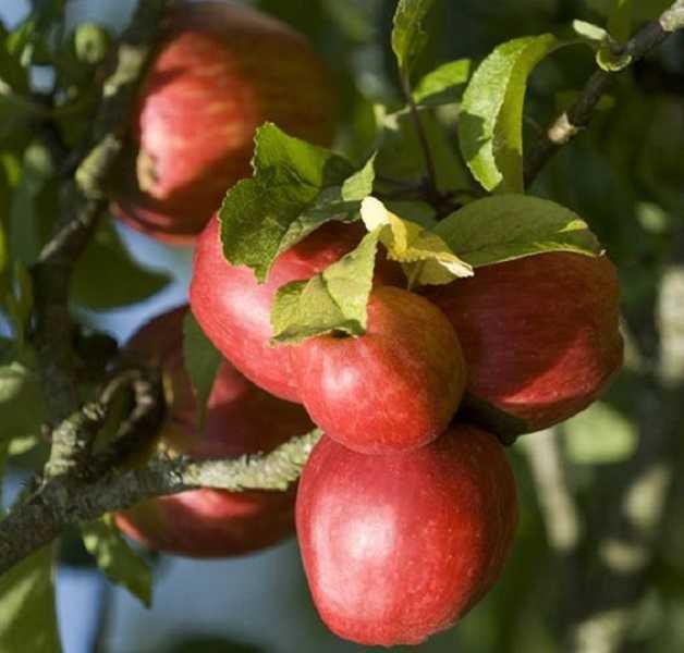 فوائد التفاح للصحة