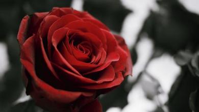 Photo of اجمل صور ورود طبيعية , الورد أنواعه وألوانه