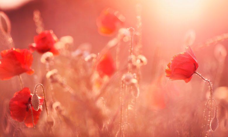 Photo of صور ورد روعة , خلفيات الزهور باجمل الوان ولقطات بديعة