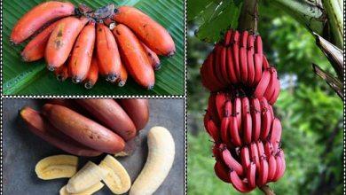 Photo of فوائد فاكهة الموز الأحمر