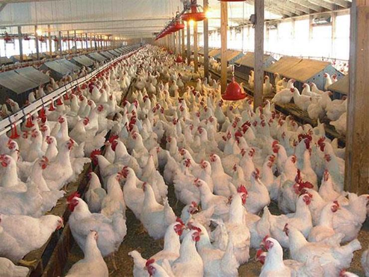 مزارع الدواجن بالمملكة العربية السعودية