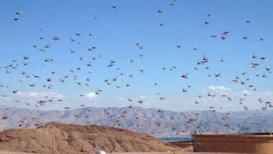 "Photo of ""طقس العرب"": هذا هو المسار المتوقع لأسراب الجراد خلال الـ 24 ساعة القادمة"