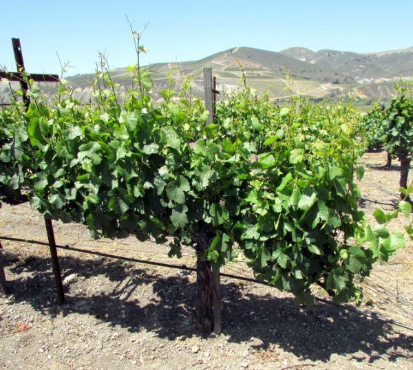 own rooted Pinot Noir vines at Sanford & Benedict Vineyard in Santa Rita Hills