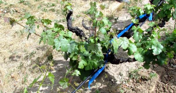 Petite Bouschet vine at Whitton Ranch