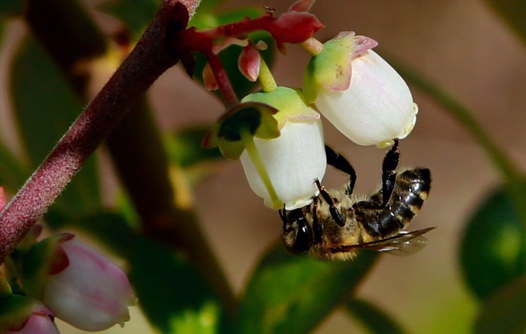 RJT藍莓園藍莓蜂蜜