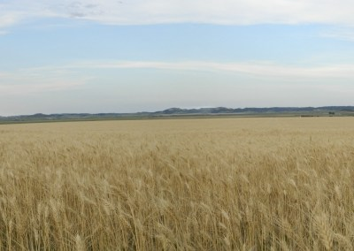 wheat field in Western Nebraska