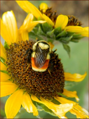 Bumble Bee and Sunflower