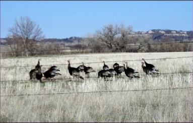 Merriam Turkey in Whitney Nebraska