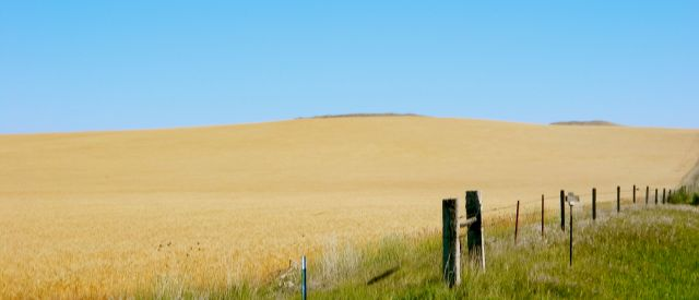Wheat ripe for harvest in western Nebraska