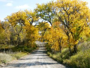 Bethel Road, Whitney Nebraska, lined with Cottonwoods in fall colors.