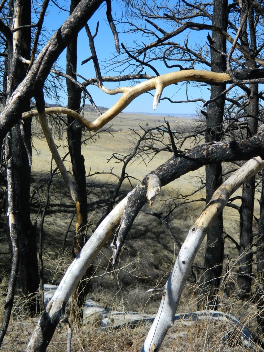 Limbs of burned trees have been scraped clean of any bark where deer have rub their antlers on .