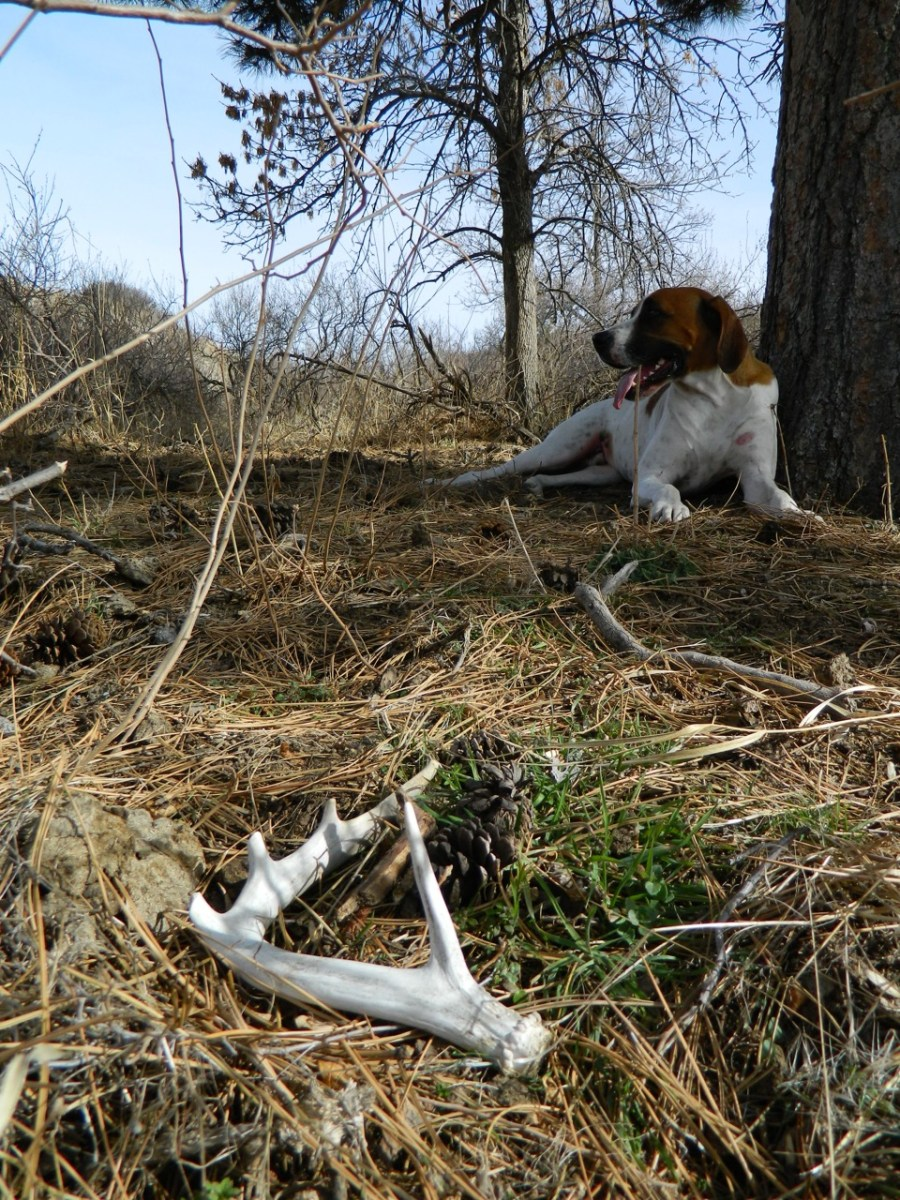 Roscoe catching breath after finding this white-tail shed.