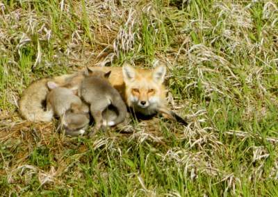 Mother fox and her pups