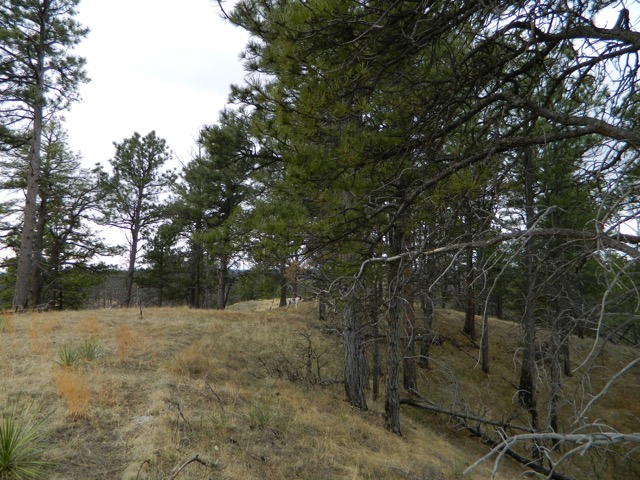 Although fire swept through this area in 2012, there were many trees that survived and the groundfloor is thriving with nutrients from the fire's ash. This game trail was well traveled this Spring and will be in the coming months as game and foul look for mates.