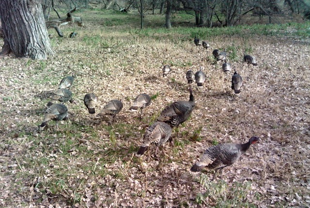 Young Merriam turkey along Indian creek at RLazyJ