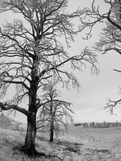 Frozen and blackened Ponderosa tree stand; their branches broken, lay shattered at their feet.