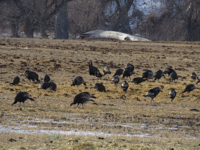 Wild Merriam's turkey flock in the cattle feed pasture.