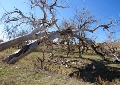 Two huge cottonwoods entangled into one as it feel across Indian Creek.