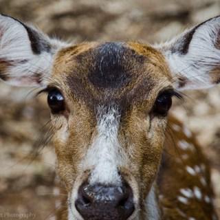 Axis Deer at Austin Zoo