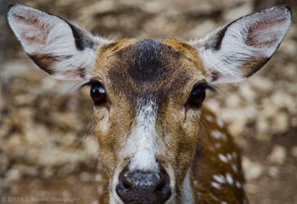 axis deer austin zoo