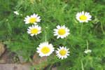 Chamomile absolute cure for restless legs syndrome