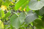 Kava Kava absolute cure for restless legs syndrome
