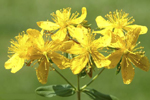St. John's Wort absolute cure for restless legs syndrome