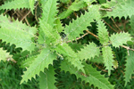 stinging nettle absolute cure for restless legs syndrome