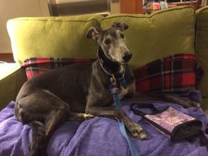 Hoyt, a greyhound with dark brown fur, sits on a couch