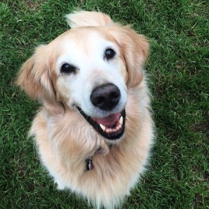 Sunny, a golden retriever with yellow and white fur, looks at the camera