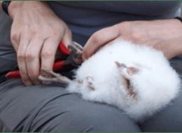 Ringing Barn Owl chick