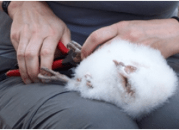 Ringing Barn Owl chick
