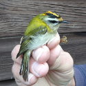 Firecrest male