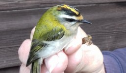 Firecrest in the hand