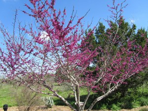Texas Redbud in bloom.